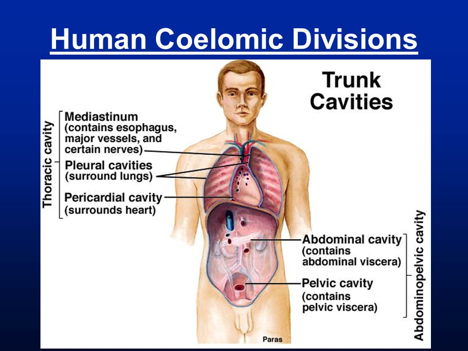 Human Coelomic Divisions