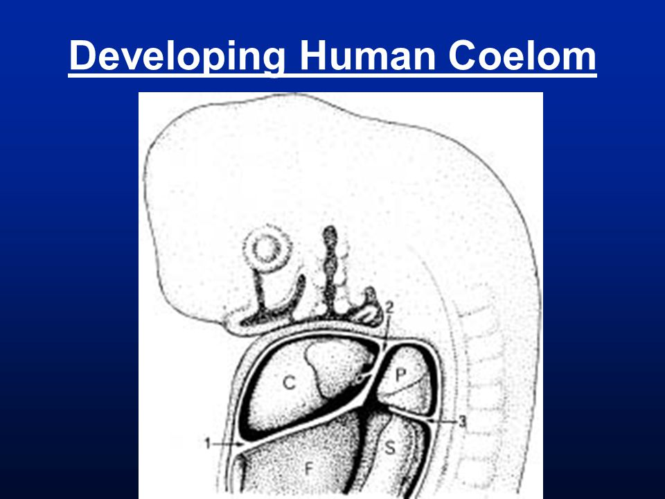 Developing Human Coelom