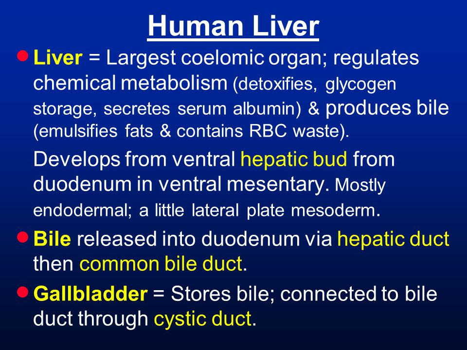 Liver = Largest coelomic organ; regulates chemical metabolism (detoxifies, glycogen storage, secretes serum albumin) & produces bile (emulsifies fat