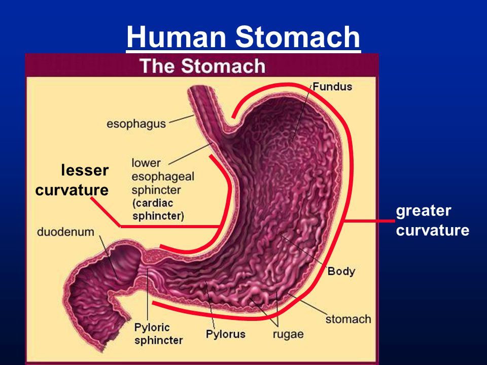 Human Stomach lesser curvature greater curvature