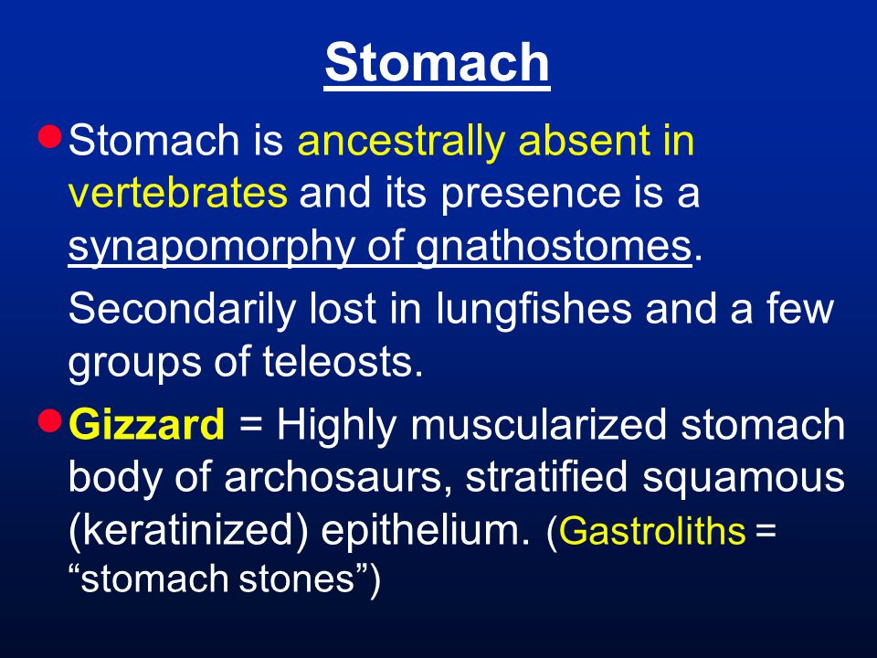  Stomach is ancestrally absent in vertebrates and its presence is a synapomorphy of gnathostomes. Secondarily lost in lungfishes and a few groups of