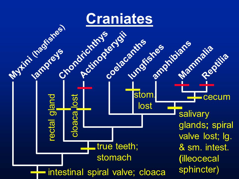 salivary glands; spiral valve lost; lg.& sm. intest.