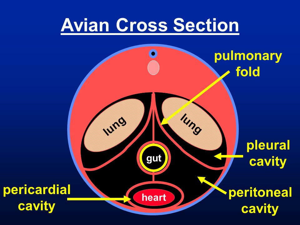 Avian Cross Section gut lung heart pulmonary fold pleural cavity peritoneal cavity pericardial cavity