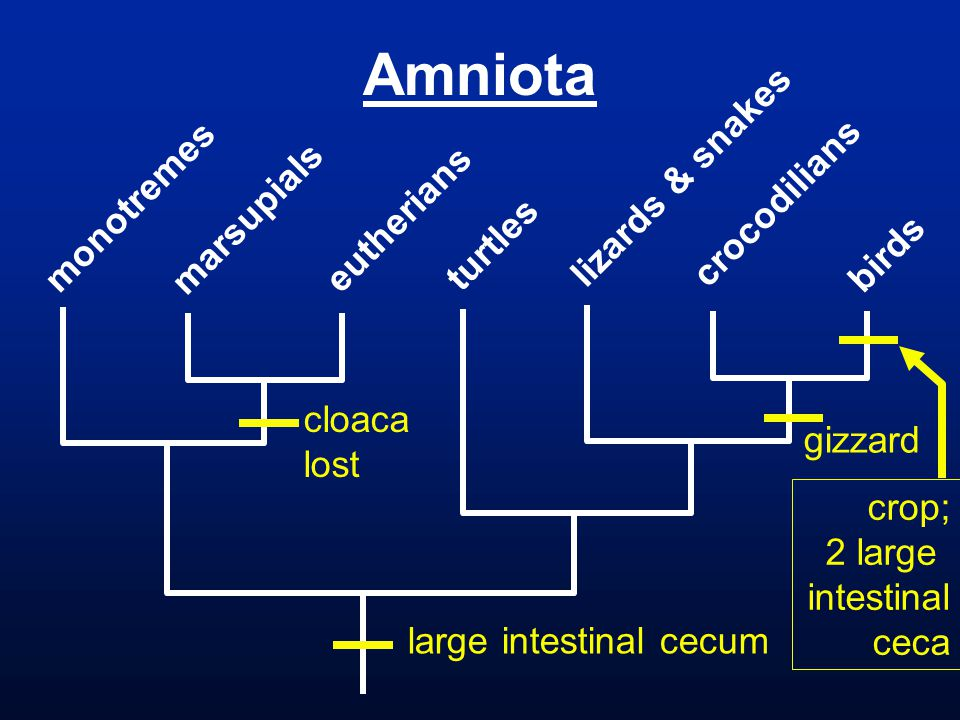 Amniota monotremes marsupials eutherians turtles lizards & snakes crocodilians birds crop; 2 large intestinal ceca gizzard cloaca lost large intestinal cecum