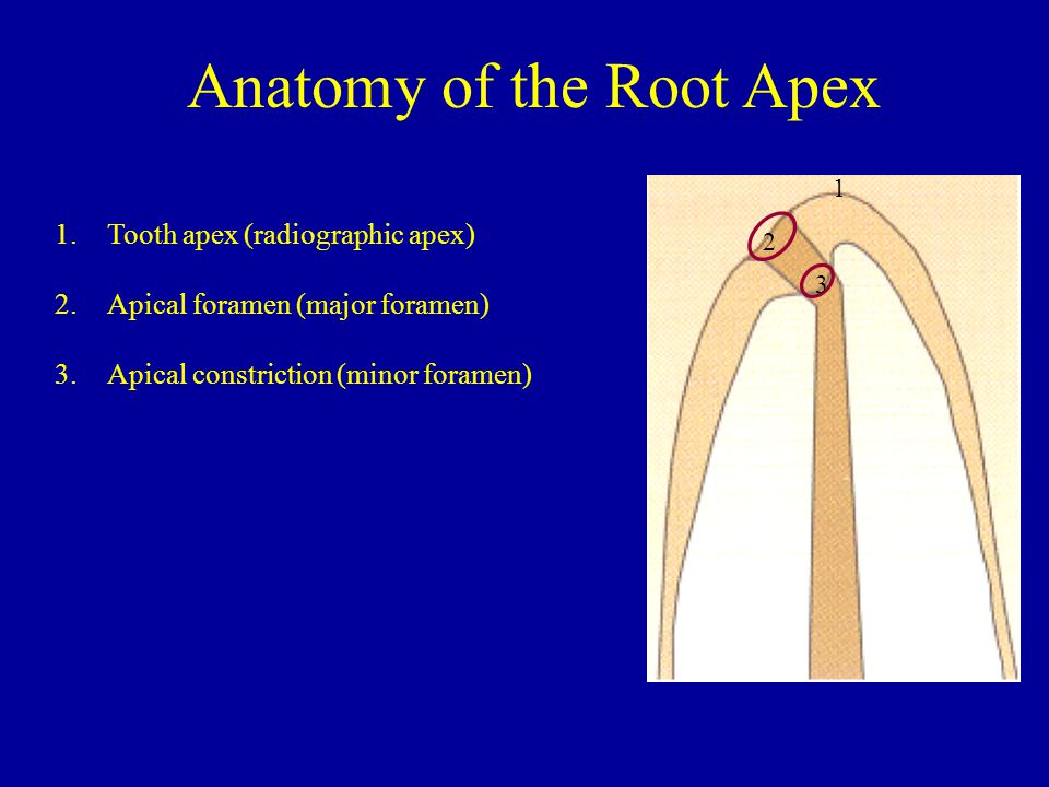 1.Tooth apex (radiographic apex) 2.Apical foramen (major foramen) 3.Apical constriction (minor foramen) 1 2 3 Anatomy of the Root Apex