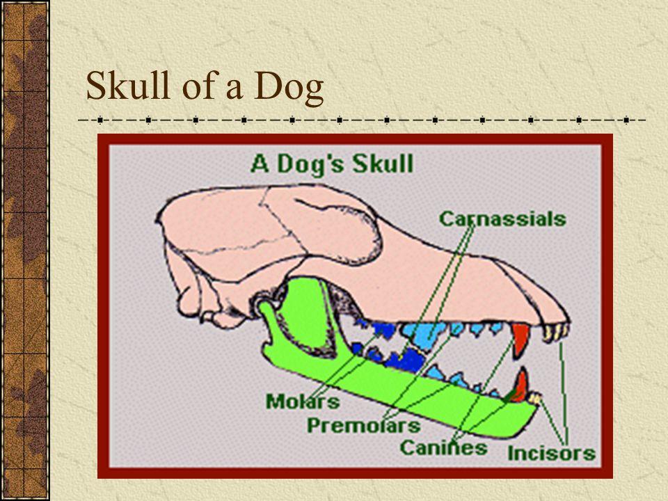 Skull of a Dog