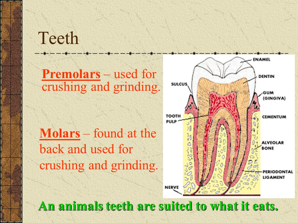 Teeth An animals teeth are suited to what it eats. Molars – found at the back and used for crushing and grinding. Premolars – used for crushing and gr
