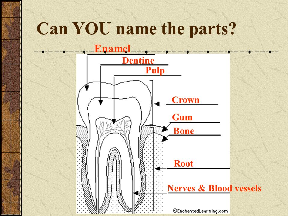 Can YOU name the parts? Enamel Dentine Pulp Crown Gum Bone Root Nerves & Blood vessels
