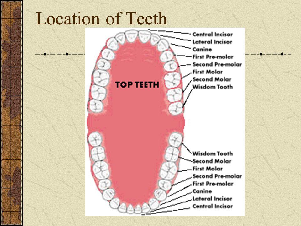 Location of Teeth