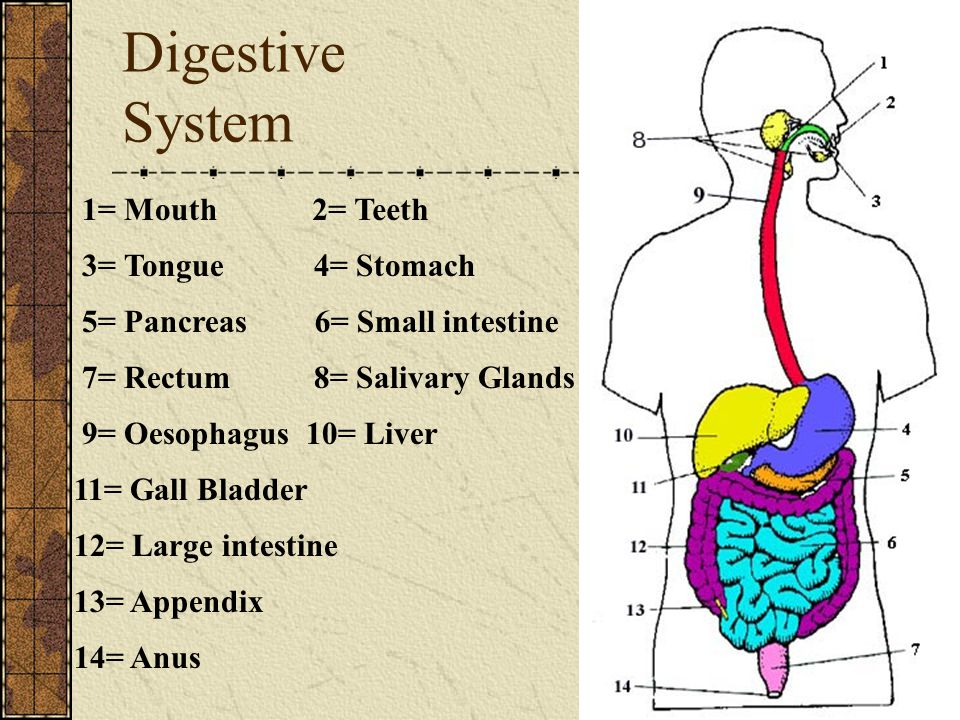 Digestive System 1= Mouth 3= Tongue 2= Teeth 4= Stomach 5= Pancreas6= Small intestine 7= Rectum8= Salivary Glands 9= Oesophagus10= Liver 11= Gall Blad