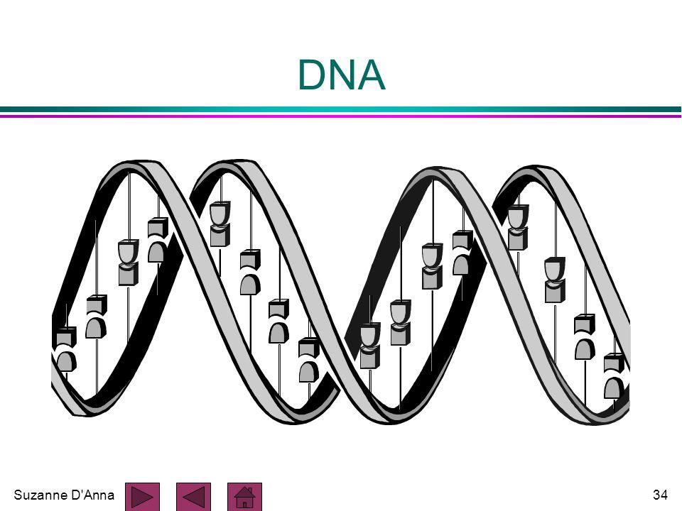 Suzanne D Anna34 DNA