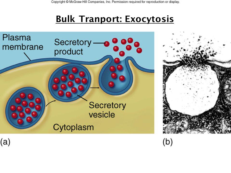 27 Bulk Tranport: Exocytosis