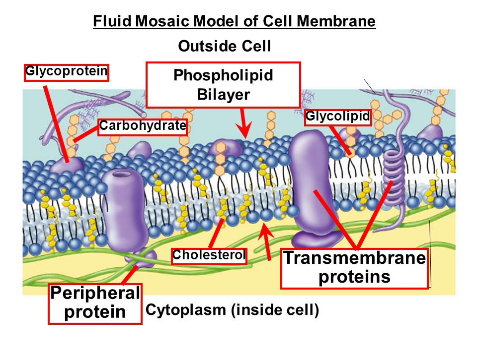 Outside Cell Cytoplasm (inside cell) Cholesterol Transmembrane proteins Peripheral protein Glycoprotein Carbohydrate Glycolipid Phospholipid Bilayer Fluid Mosaic Model of Cell Membrane