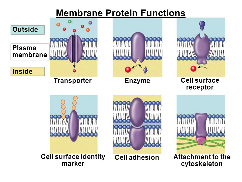 Outside Plasma membrane Inside Transporter Cell surface receptor Enzyme Cell surface identity marker Attachment to the cytoskeleton Cell adhesion Membrane Protein Functions