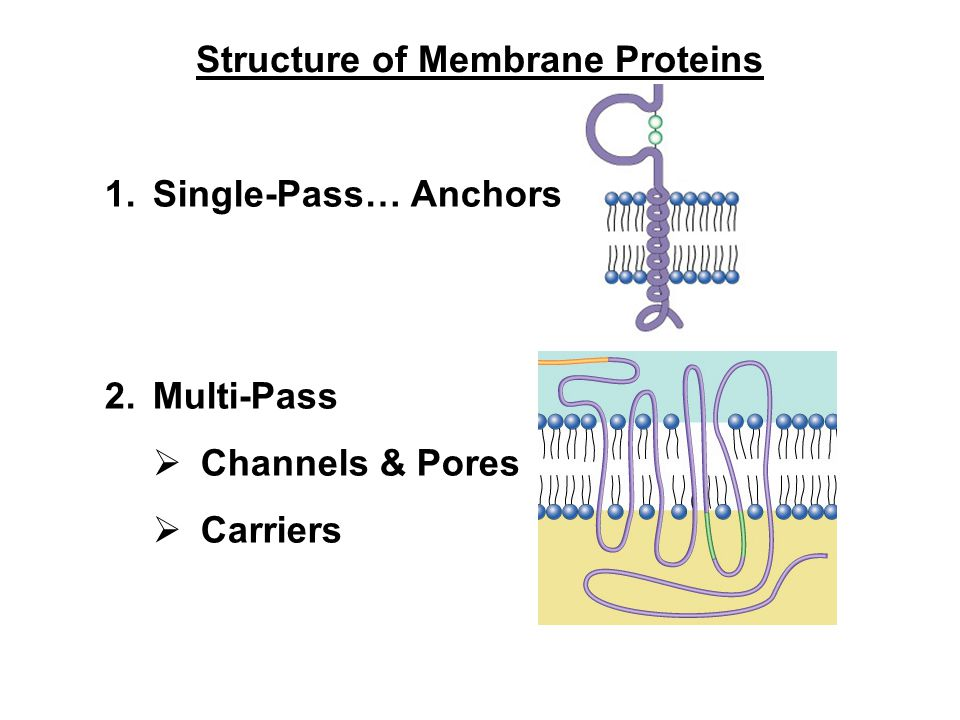 1.Single-Pass… Anchors 2.Multi-Pass  Channels & Pores  Carriers Structure of Membrane Proteins