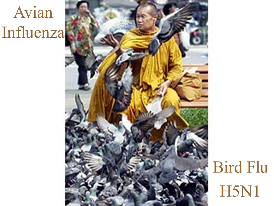 2 Avian Influenza… Is a respiratory illness in birds Wild birds and ducks are the natural reservoir for infection, though they are generally unaffected by the virus Usually does not affect humans; however, in 1997, there were documented cases of humans infected with avian influenza viruses