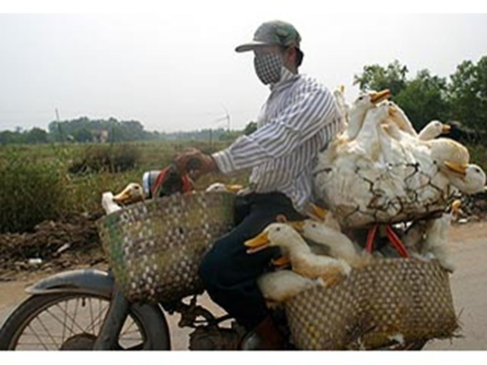 5 Avian Influenza H5N1 Scientists believe most cases in humans resulted from contact with the infected saliva, blood or feces of infected poultry or contaminated surfaces So far the spread of H5N1 flu virus from person to person has been rare