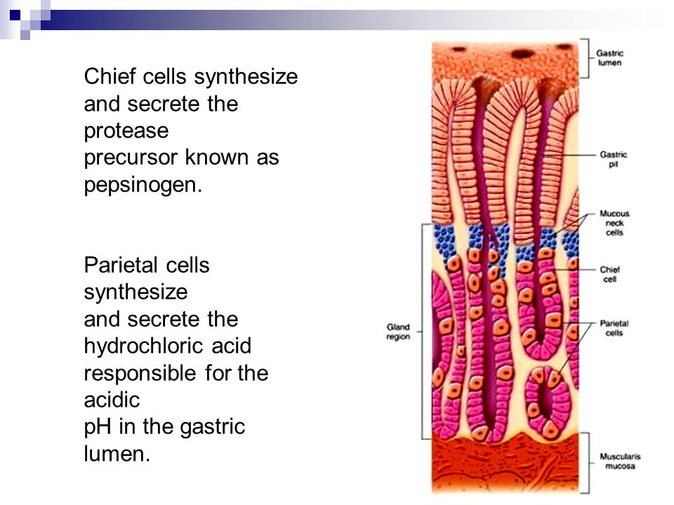 Chief cells synthesize and secrete the protease precursor known as pepsinogen.