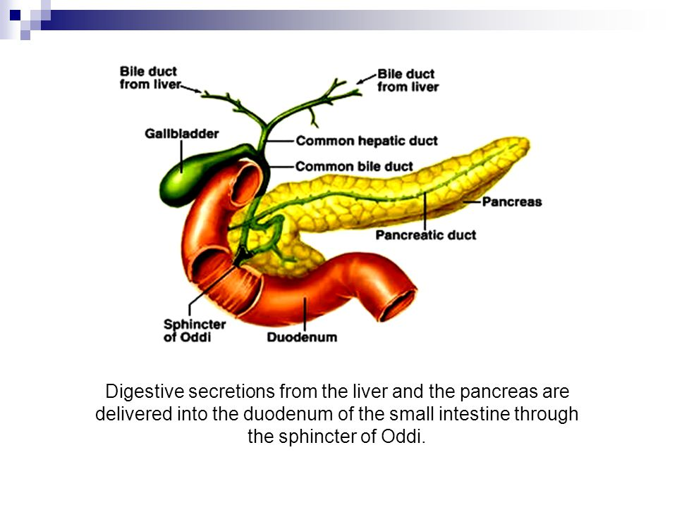 Digestive secretions from the liver and the pancreas are delivered into the duodenum of the small intestine through the sphincter of Oddi.