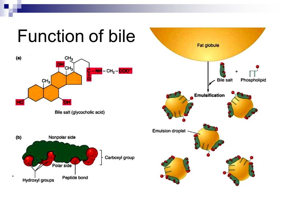 Function of bile
