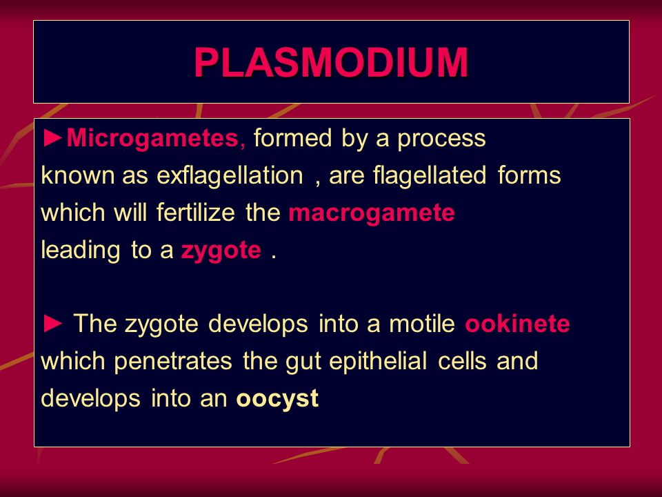 PLASMODIUM ►Microgametes, formed by a process known as exflagellation, are flagellated forms which will fertilize the macrogamete leading to a zygote.