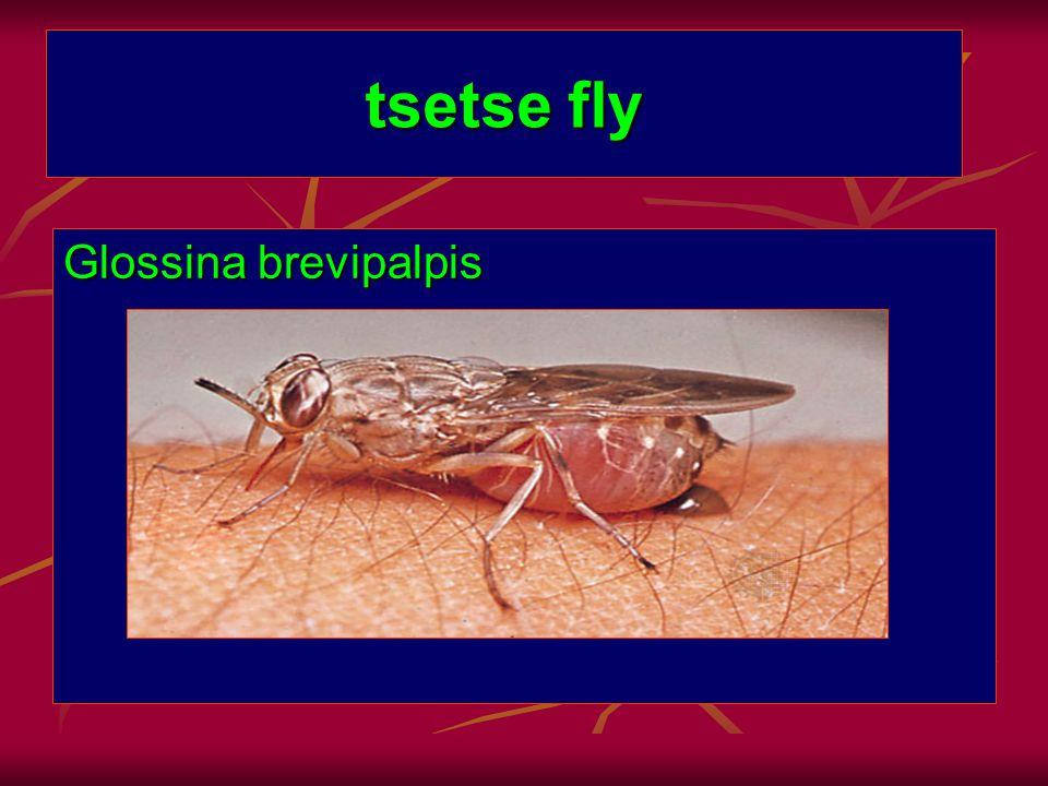 tsetse fly Glossina brevipalpis