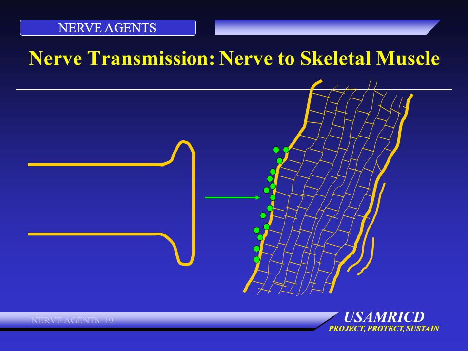 NERVE AGENTS USAMRICD PROJECT, PROTECT, SUSTAIN NERVE AGENTS 19 Nerve Transmission: Nerve to Skeletal Muscle