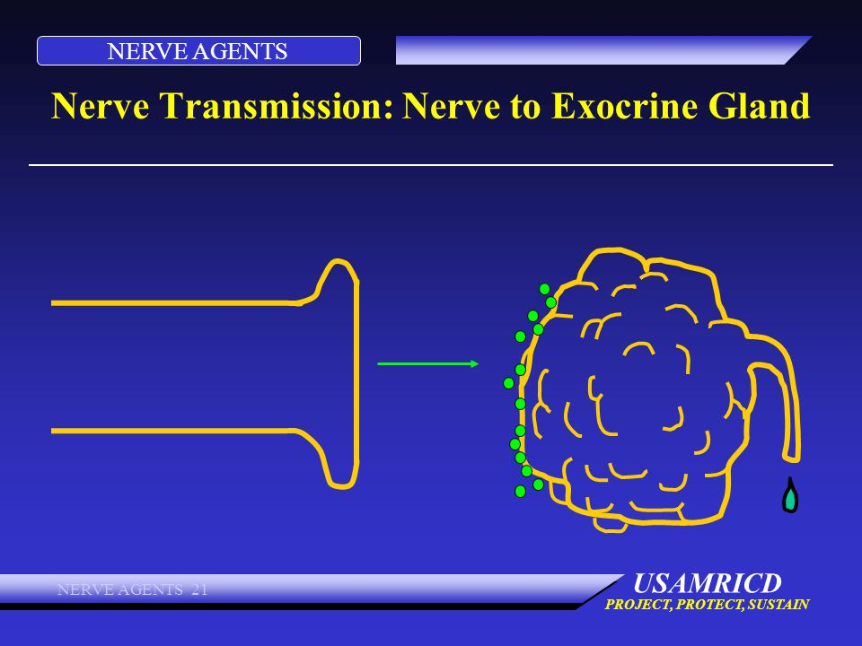 NERVE AGENTS USAMRICD PROJECT, PROTECT, SUSTAIN NERVE AGENTS 21 Nerve Transmission: Nerve to Exocrine Gland
