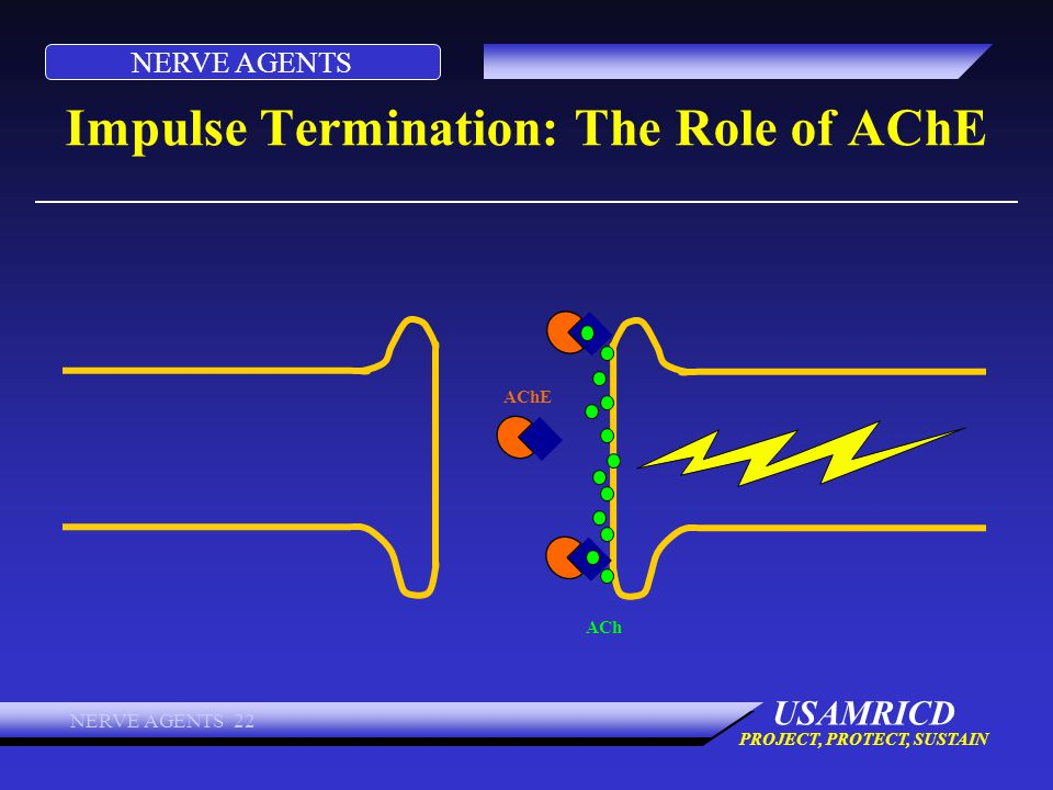 NERVE AGENTS USAMRICD PROJECT, PROTECT, SUSTAIN NERVE AGENTS 22 Impulse Termination: The Role of AChE ACh AChE