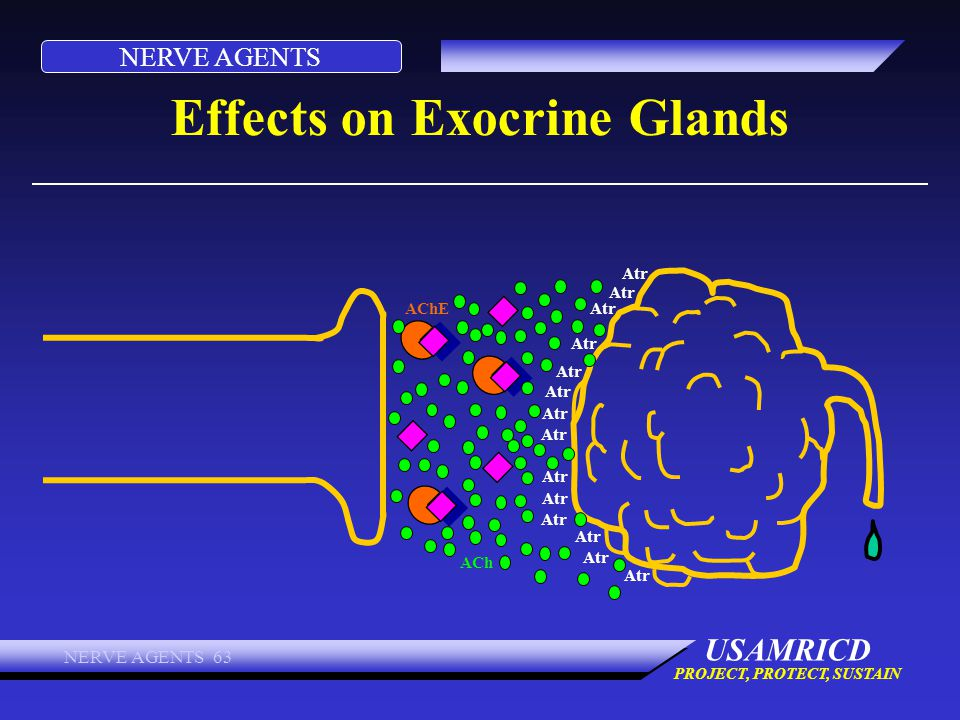 NERVE AGENTS USAMRICD PROJECT, PROTECT, SUSTAIN NERVE AGENTS 63 Effects on Exocrine Glands ACh AChE Atr
