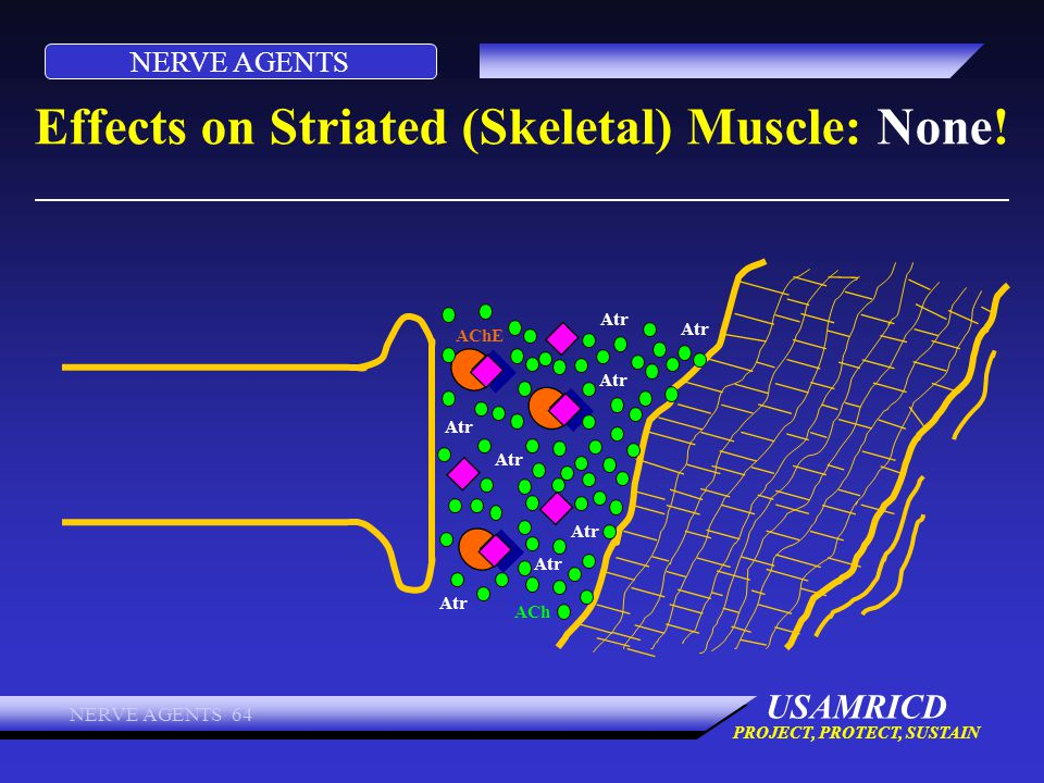 NERVE AGENTS USAMRICD PROJECT, PROTECT, SUSTAIN NERVE AGENTS 64 Effects on Striated (Skeletal) Muscle: None! ACh AChE Atr