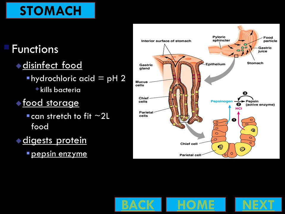  Functions  disinfect food  hydrochloric acid = pH 2  kills bacteria  food storage  can stretch to fit ~2L food  digests protein  pepsin enzyme NEXTBACKHOME STOMACH