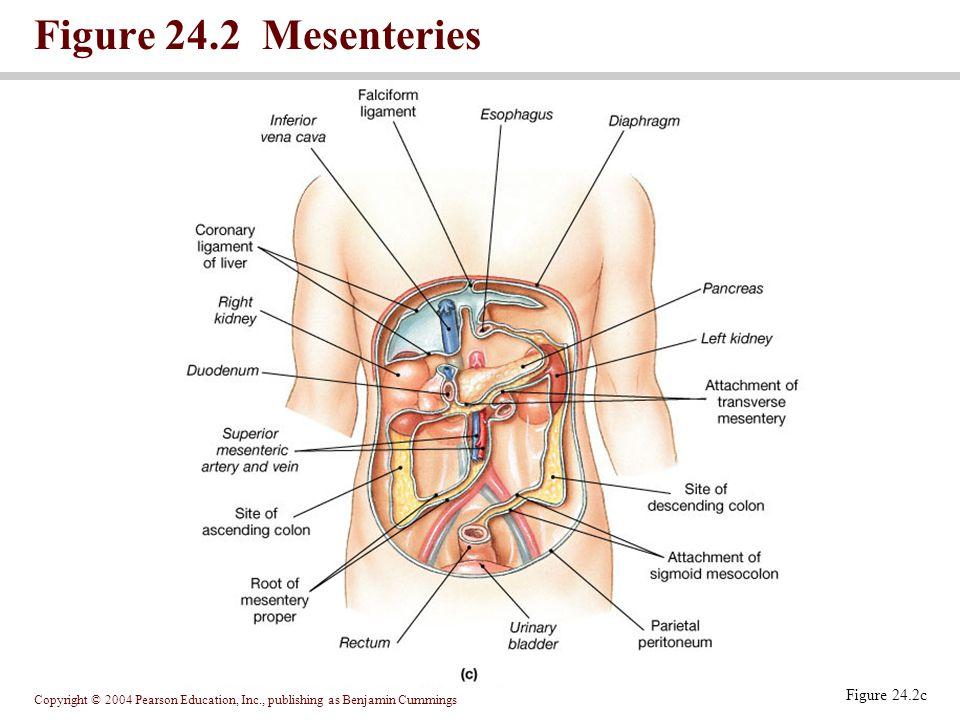 Copyright © 2004 Pearson Education, Inc., publishing as Benjamin Cummings Figure 24.2 Mesenteries Figure 24.2c