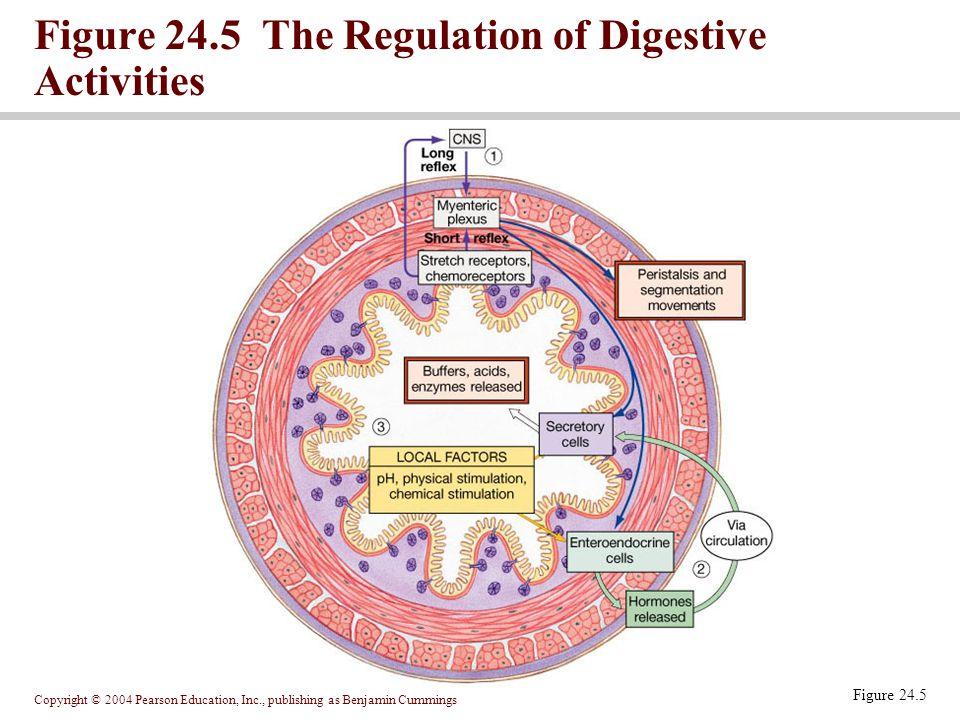 Copyright © 2004 Pearson Education, Inc., publishing as Benjamin Cummings Figure 24.5 The Regulation of Digestive Activities Figure 24.5