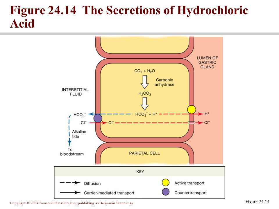 Copyright © 2004 Pearson Education, Inc., publishing as Benjamin Cummings Figure 24.14 Figure 24.14 The Secretions of Hydrochloric Acid