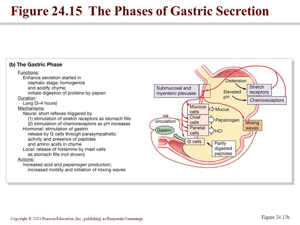 Copyright © 2004 Pearson Education, Inc., publishing as Benjamin Cummings Figure 24.15b Figure 24.15 The Phases of Gastric Secretion