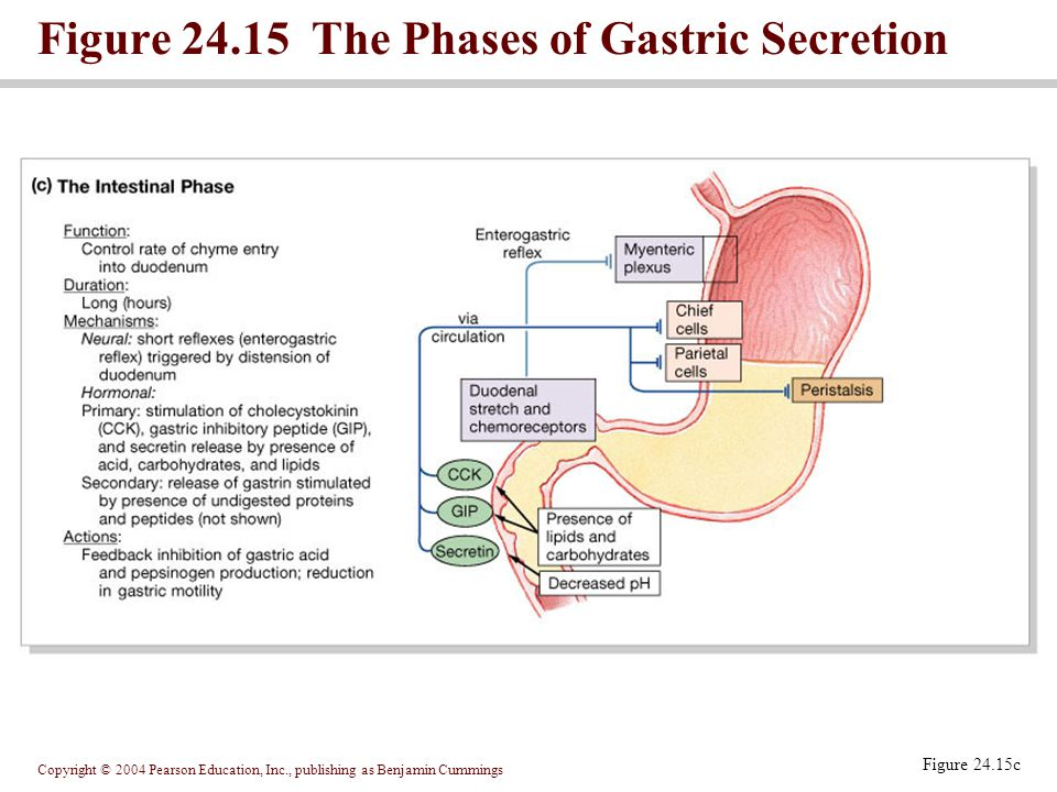 Copyright © 2004 Pearson Education, Inc., publishing as Benjamin Cummings Figure 24.15c Figure 24.15 The Phases of Gastric Secretion