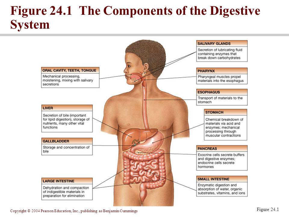 Copyright © 2004 Pearson Education, Inc., publishing as Benjamin Cummings Figure 24.13 The Stomach Lining Figure 24.13c, d