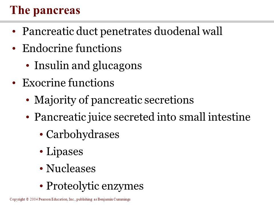 Copyright © 2004 Pearson Education, Inc., publishing as Benjamin Cummings Pancreatic duct penetrates duodenal wall Endocrine functions Insulin and glu