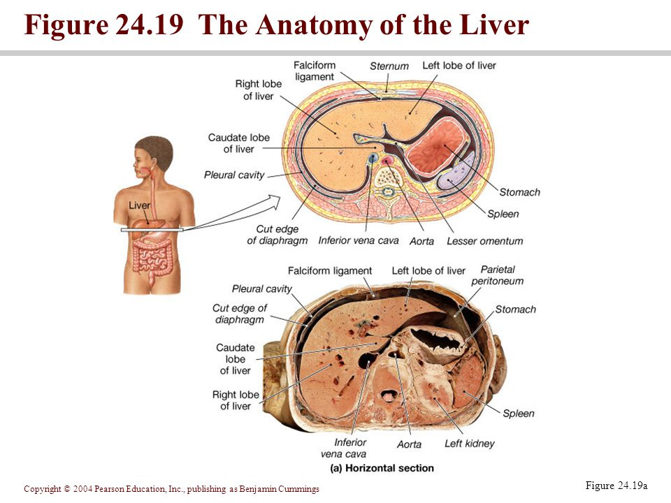 Copyright © 2004 Pearson Education, Inc., publishing as Benjamin Cummings Figure 24.19a Figure 24.19 The Anatomy of the Liver