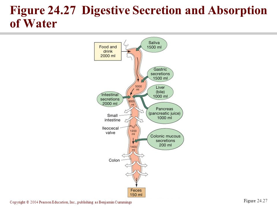 Copyright © 2004 Pearson Education, Inc., publishing as Benjamin Cummings Figure 24.27 Digestive Secretion and Absorption of Water Figure 24.27