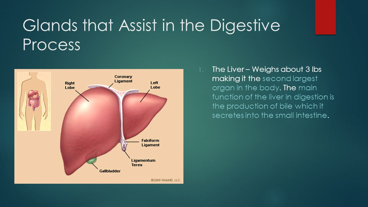 Glands that Assist in the Digestive Process 1.