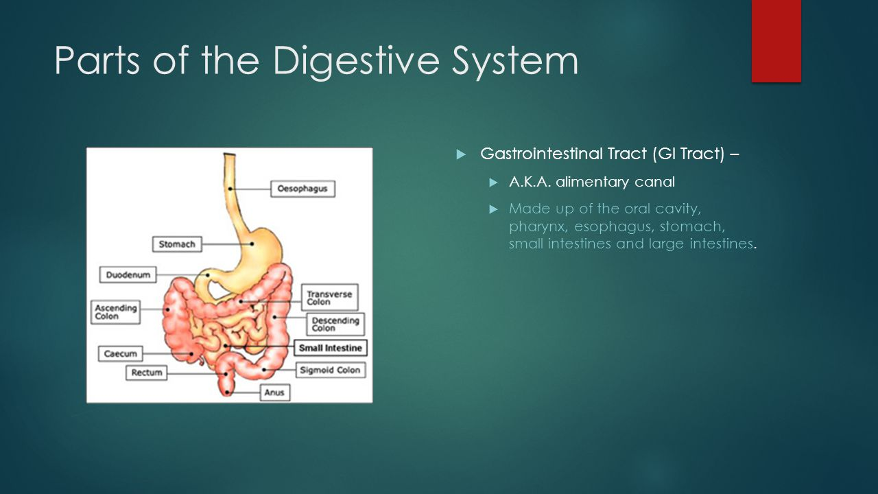 Parts of the Digestive System  Gastrointestinal Tract (GI Tract) –  A.K.A.
