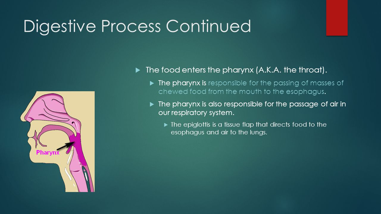 Digestive Process Continued  The food enters the pharynx (A.K.A.