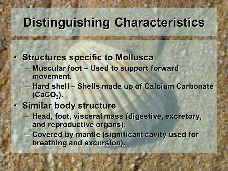 Distinguishing Characteristics Structures specific to MolluscaStructures specific to Mollusca –Muscular foot – Used to support forward movement. –Hard