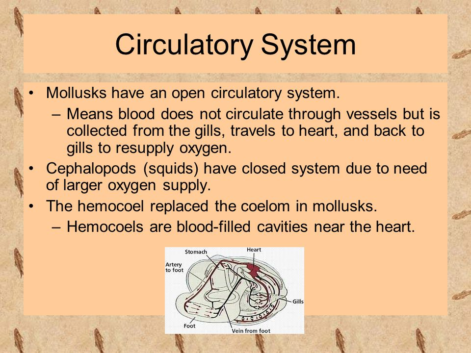 Circulatory System Mollusks have an open circulatory system. –Means blood does not circulate through vessels but is collected from the gills, travels