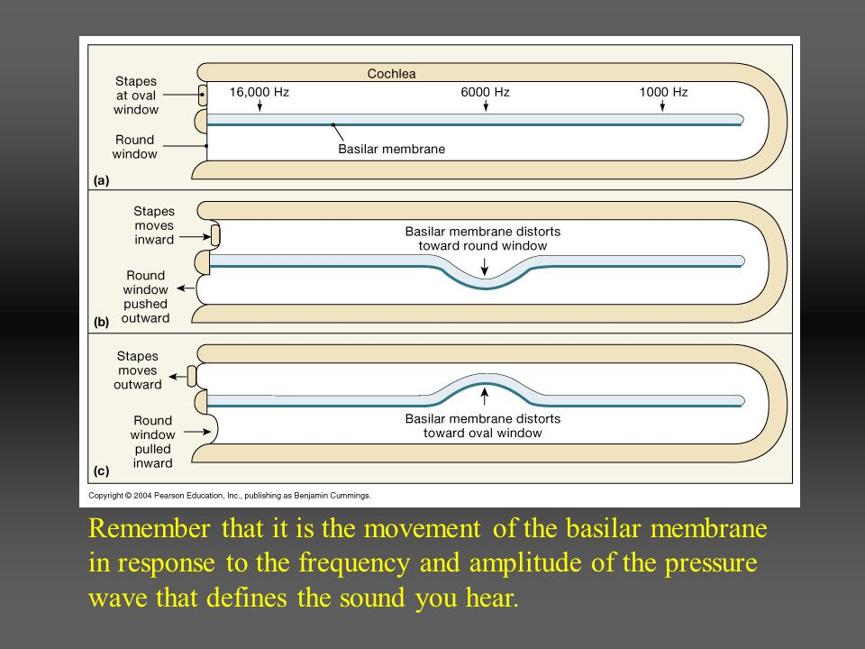 Remember that it is the movement of the basilar membrane in response to the frequency and amplitude of the pressure wave that defines the sound you he