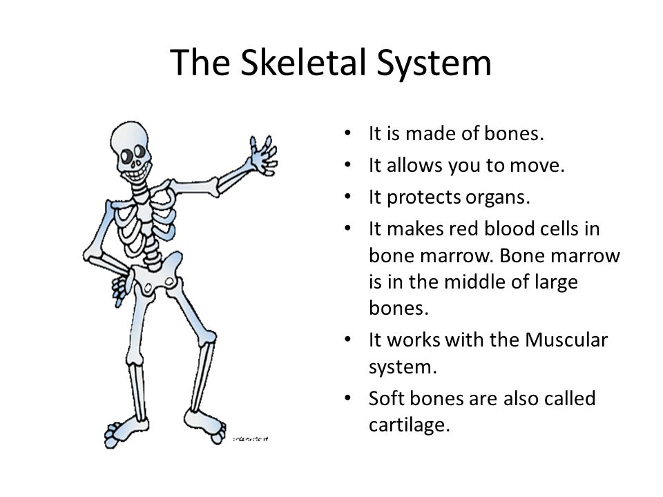 The Skeletal System It is made of bones. It allows you to move. It protects organs. It makes red blood cells in bone marrow. Bone marrow is in the mid