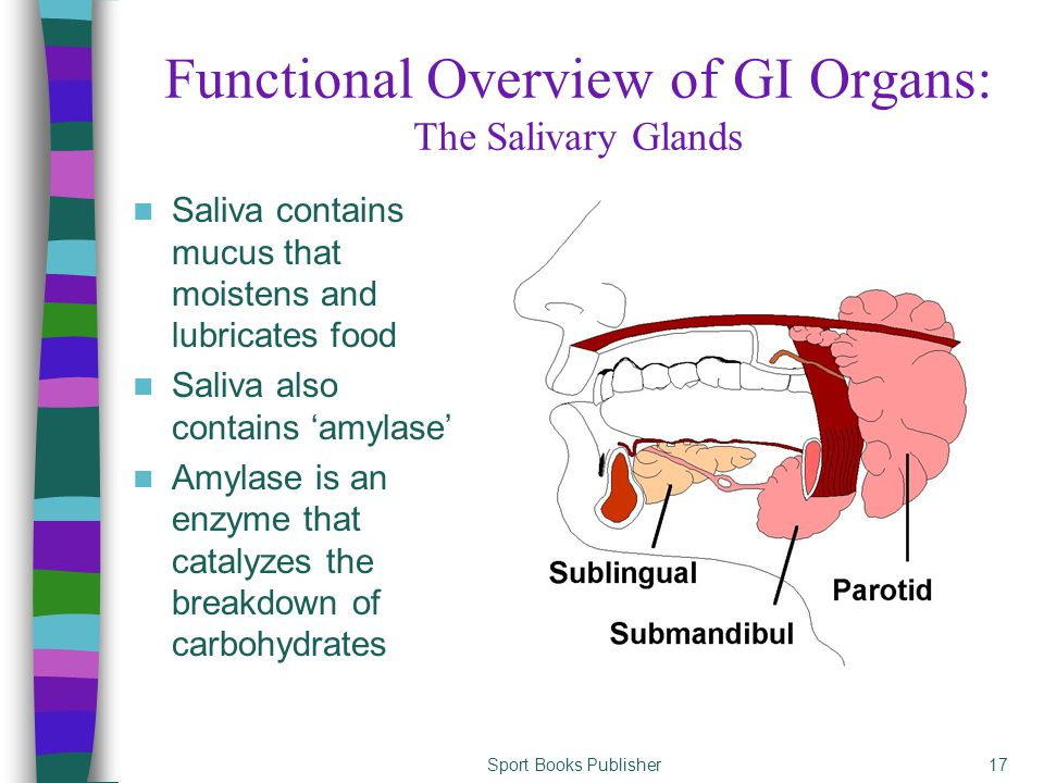 Sport Books Publisher17 Saliva contains mucus that moistens and lubricates food Saliva also contains 'amylase' Amylase is an enzyme that catalyzes the breakdown of carbohydrates Functional Overview of GI Organs: The Salivary Glands
