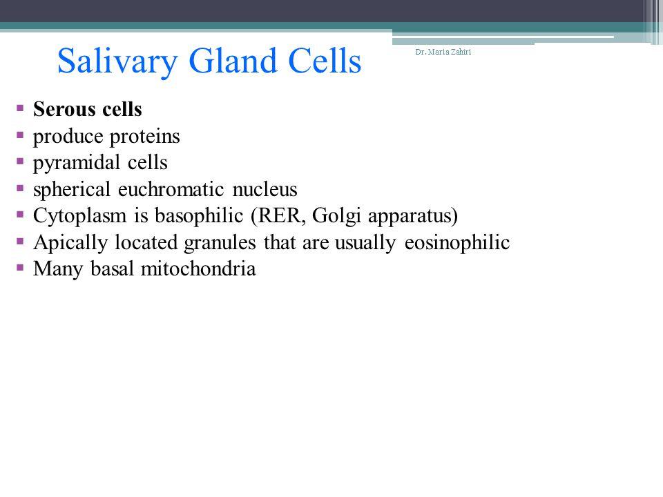 Salivary Gland Cells  Serous cells  produce proteins  pyramidal cells  spherical euchromatic nucleus  Cytoplasm is basophilic (RER, Golgi apparat